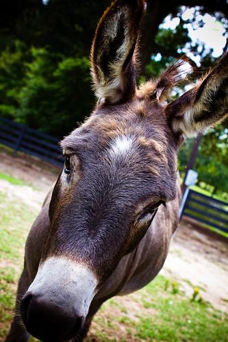 110709 Donkey