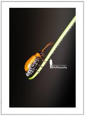 Lady Beetle (Ringgo Gomez) Tags: bigfav kfk macroextreme macrolicious topseven worldbest flickraward tamronsp90mmmacro theunforgettablepictures concordians macromarvels macrolife nikond700 batterthangood sarawakborneo thebestshot flickraward5 flickrawardgallery