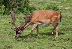 Fallow deer (EionaR.) Tags: wales carmarthenshire sos fallowdeer wfc goldengrove gelliaur lttf