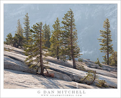 Trees on Granite Slabs, Morning (G Dan Mitchell) Tags: california road park morning travel light summer cliff usa mountain lake tree 120 nature pine creek landscape back high haze highway grove nevada stock pass grow scenic atmosphere sierra diagonal crack national yosemite ledge granite northamerica geology trans range slant murphy slab tamarack glacial tioga tenaya glaciated lodgpole