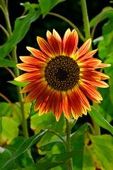 Aug032011_0921-Red-Sunflower (©Delos Johnson) Tags: flowers canon garden sunflower topaz delos g9 detail4 denoise