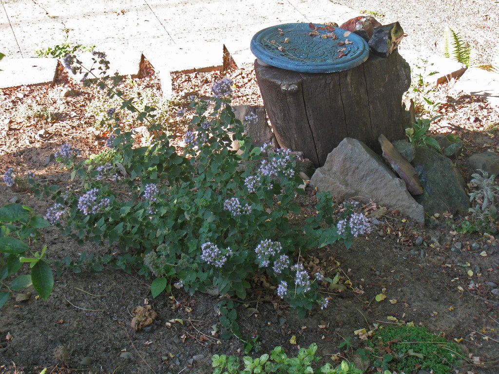 oregano and birdbath from above