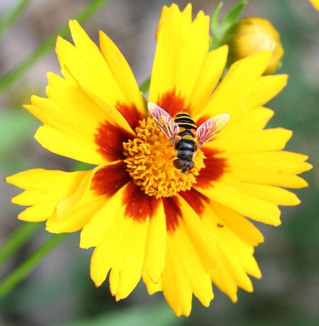 flower fly 02