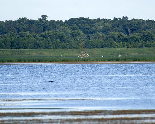 06252011JGW-EmiquonWetlandObservatory-CattleEgretsCormorants_MG_0549