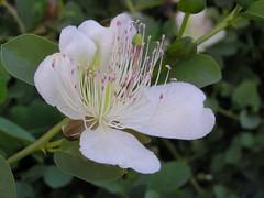 Capparis spinosa - Capparaceae - Cprier commun - Erevan - Armnie (vanaspati1) Tags: armnie spinosa capparaceae commun erevan capparis cprier