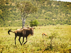 "PhotoFly Travel Club Kenya Safari 2011! • <a style=""font-size:0.8em;"" href=""https://www.flickr.com/photos/56154910@N05/5892437613/"" target=""_blank"">View on Flickr</a>"