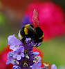 DSC_0101 copy (image.in77) Tags: flowers summer macro nature garden insect nikon lavender bee theperfectphotographer