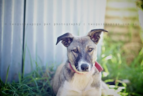 Spirit 9 month old Kelpie x Whippet AWDRI Star Dog photographed by twoguineapigs Pet Photography, pet portraiture, dog photographer in Sydney.