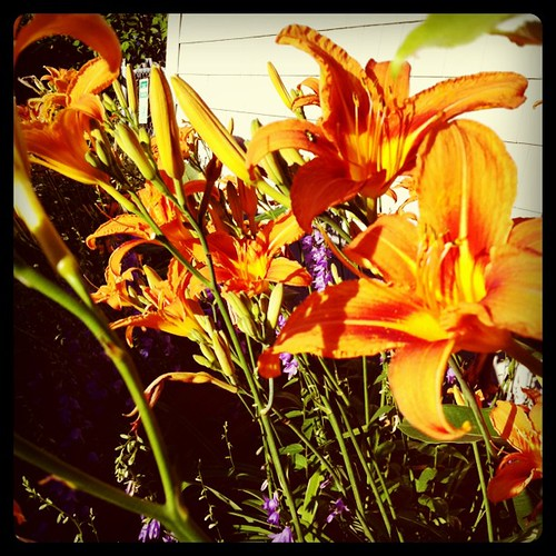 late sun lilies
