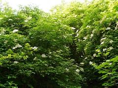 Sureau noir=Sambuscus nigra - Sampeyre 217