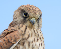 Wild Kestrel close encounter (Andrew H Wildlife Images) Tags: nature wildlife norfolk nwt cleymarsh canon7d ajh2008