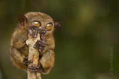 Philippines Tarsier (zyans) Tags: philippines bohol tarsier