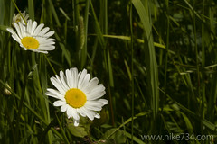 "Oxeye Daisy • <a style=""font-size:0.8em;"" href=""http://www.flickr.com/photos/63501323@N07/5926727983/"" target=""_blank"">View on Flickr</a>"