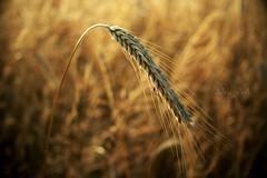 Osetno - Weekend outside the city (dolny_slask) Tags: field landscape outside gold europe wheat grain poland polska polen easterneurope dolnyslask lowersilesia dolnośląskie dolnyśląsk dolinabaryczy osetno baryczvalley