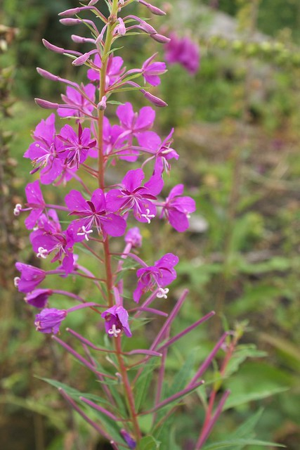 DSC_8256 willowherb