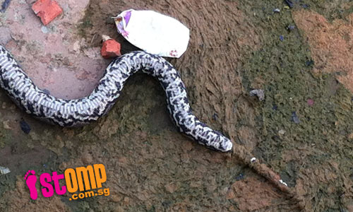Dead python with smashed head found near Kallang River. Did someone kill it?