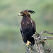 Long-crested Eagle in the rain