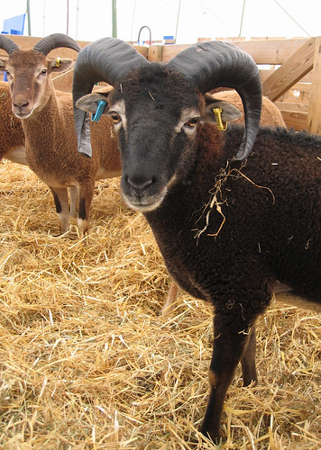 Soay sheep 2