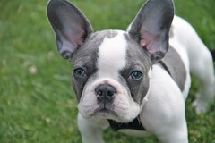Frank Sinatra...ol blue eyes (Eyesplash - Winter is coming along with Santa) Tags: dog baby bird puppy tears sad nest humanity young anger frankie spots killer murder frenchbulldog sucks pup mad destroyed upset obscene franksinatra olblueeyes