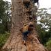 Árvore Tingle