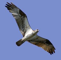 Determined Osprey (phenix) Tags: minolta g sony flight apo 300mm tc delaware f4 osprey hs 14x a700 beckspond taxonomy:binomial=pandionhaliaetus taxonomy:common=osprey