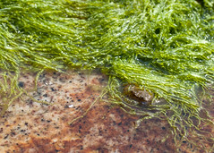 "NHME - crab in seaweed 2 • <a style=""font-size:0.8em;"" href=""http://www.flickr.com/photos/30765416@N06/5941853978/"" target=""_blank"">View on Flickr</a>"