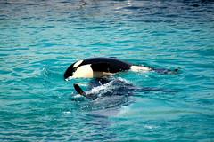 (Caveni) Tags: orca killerwhale marineland orque