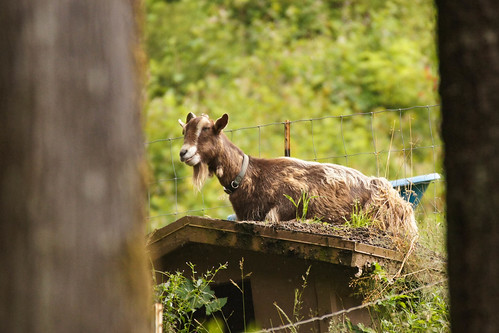 Goat on Shed