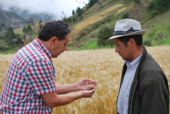 Discussing new wheat variety for Ecuador (CIMMYT) Tags: people mountain plant man planta latinamerica southamerica field person persona ecuador gente wheat farming crop impact campo production leader farmer agriculture montaa partnership partner loja ecuatoriano collaboration plot hombre scientist participatory trigo researcher participation amricalatina asociacin initiative impacto agricultura labranza parcela ecuadorian discussing discutiendo droughttolerant amricadelsur colaborador cientfico lder latinoamrica colaboracin saraguro iniciativa collaborator produccin participacin foodsecurity asociado cimmyt investigador altorendimiento seguridadalimentaria iniap droughttolerance highyielding improvedvariety variedadmejorada tolerancaalasequa tolerantealasequa ensayoconagricultores ensayoparticipativo farmertesting nationalinstituteofagriculturalresearch institutonacionalautnomodeinvestigacionesagropecuarias