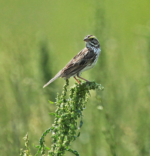 Savannah Sparrow by JKissnHug