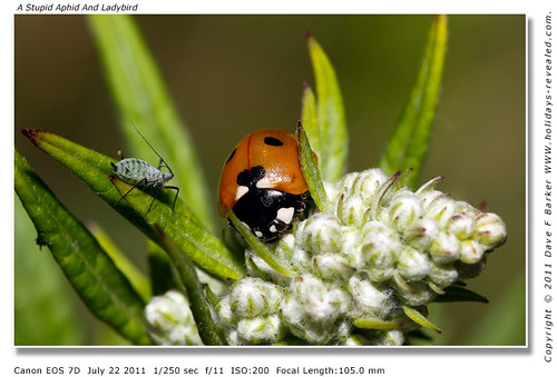 A Stupid aphid Ladybird Botany Bay Chorley Lancashire