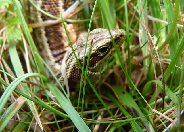 24520 - Common Lizard, Isle of Mull