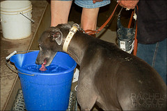 Time for a Drink (rachelhogue) Tags: life blue dog greyhound water female race track drinking off racing behind scenes cooling greyhoundracing