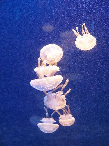 新江ノ島水族館 タコクラゲ