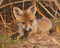 Fox cub (Stuart G Wright Photography (Decorating for a whil) Tags: red cub g wildlife stuart cannock fox chase wright staffs