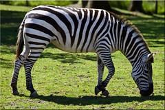 You Are Starting to Feel Very Sleepy...... (Jill Clardy) Tags: sf africa white black zoo san francisco african stripes 100views zebra savannah hypnotic 1902