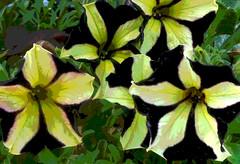 Lexington Petunias for Pattern by randubnick