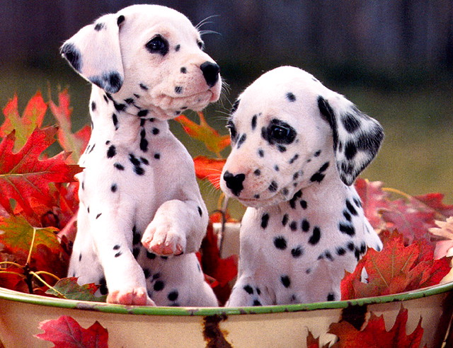 dalmatian-puppies-cute-dogs