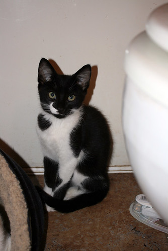 Constantine, a small black and white kitten who is mostly black, with just two small stripes of white on his face, defining the black 'beard' under his chin, sits in classic Egyptian Statue Cat pose and disapproves at the camera.