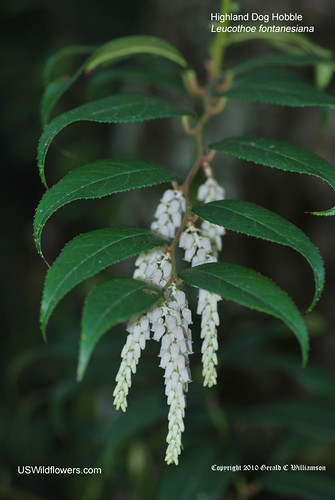 Highland Dog Hobble, Fetterbush - Leucothoe fontanesiana