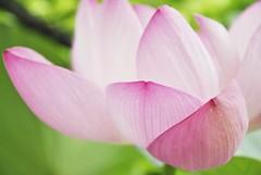 (M.Yuriko.M) Tags: flower lotus pinkflower aomori loto      lotosblume