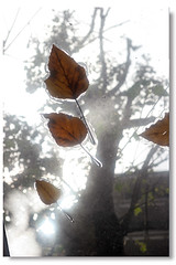 falling (foofoto) Tags: hongkong leaf falling
