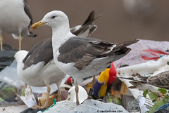 Norwegian Lesser Black-backed Gull, 3cy, N[JZZ7] (little-W | Studying gulls) Tags: color colour birds gull vogels ring larus larusmarinus mantelmeeuw fuscus graellsi lesserblackbacked intermedius