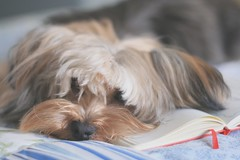 Lazy Spock (Honey Pie!) Tags: pet cute moleskine yorkie puppy bokeh yorkshire adorable lindo lazy spock lovely bangs yorkshireterrier fofo littledog softtones patchworkquilt adorvel honeypie colchaderetalhos melinasouza melinadesouza