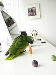 ___coco____ (Vladimr Kovanda) Tags: blue white green bird apple girl amazon nikon 8 parrot coco fischerspooner f2 nikkor 1755 d2xs blufrontedamazon