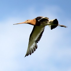 Black Tailed Godwit in Flight (Ger Bosma) Tags: bird dutch flying wings europe european wildlife flight thenetherlands birdsinflight soaring bif birdinflight grutto blacktailedgodwit limosalimosa flyingbird uferschnepfe agujacolinegra tripleniceshot dblringexcellence tplringexcellence exitmgm exitpfr img13554 eltringexcellence exitfbsg