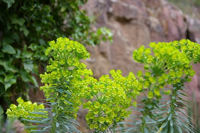 the froth of euphorbia wulfenii