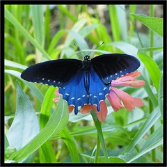 """Blue"" Monday (Daisy Mai-ling) Tags: blue flower butterfly zinnia pipevineswallowtail battusphilenor insectsandspiders flyingflowerbutterflymonday lincolncountymo"