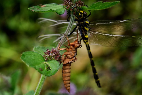 dragonfly larvae (1)