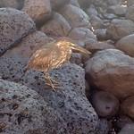 """Juvenile Lava Heron <a style=""""margin-left:10px; font-size:0.8em;"""" href=""""http://www.flickr.com/photos/14315427@N00/6007231522/"""" target=""""_blank"""">@flickr</a>"""